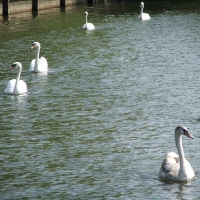 swans paddling along on the river in a group