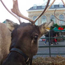 Reindeer in the market place this weekend