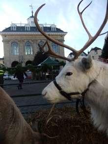 reindeer 052_0.JPG