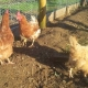 3-chickens_snipped